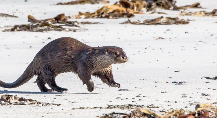 Otter - Western Isles wildlife, birds, plants, mammals, moths, butterflies